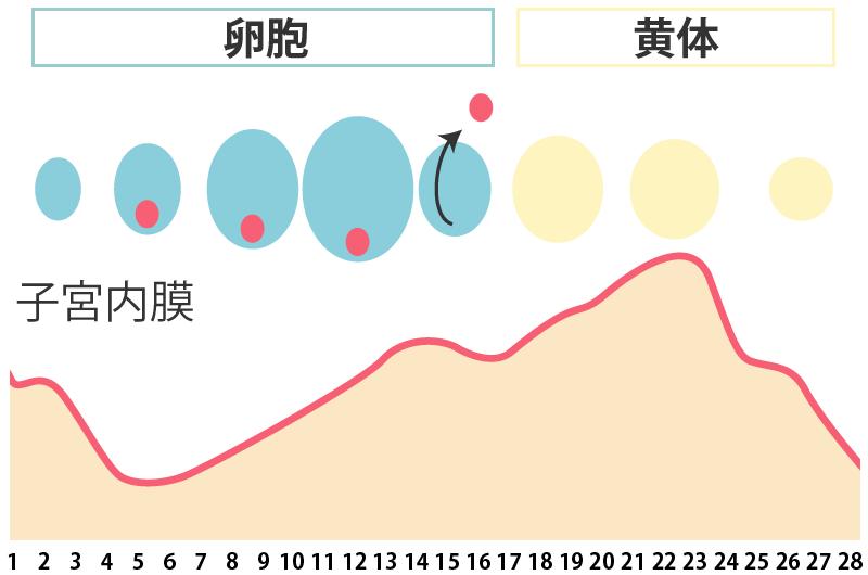 子宮内膜と卵胞、黄体のグラフ