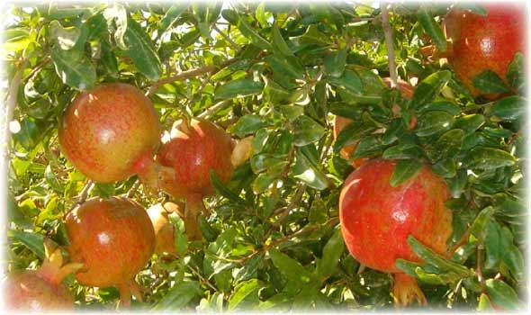 木に実るイランのザクロ