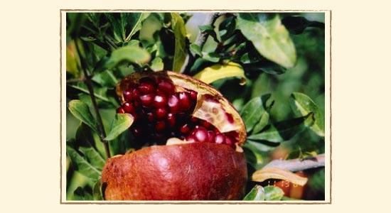 木の上で熟してザクロの実がはじけています